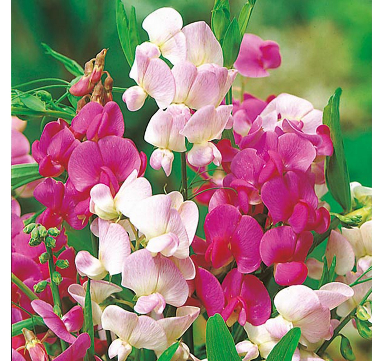 Многолетние цветы на букву а на фото